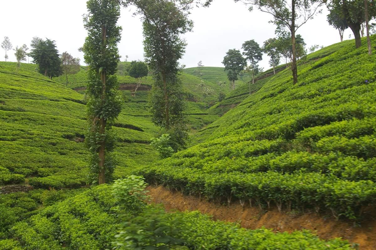 Sri-Lanka-Nuwara-Eliya-to-Ella-Scenery-Tea-Fields